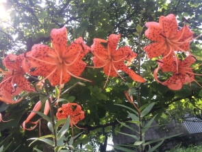 Carniolan Lily