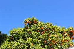 Orange trees in the city