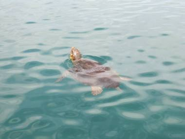 Loggerhead turtle in Chania harbour