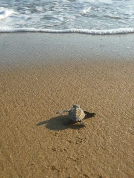 Hatchling heading to the sea