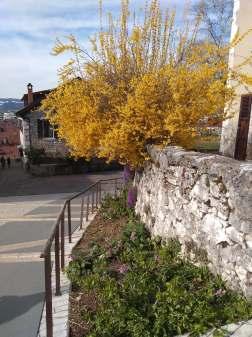 Spring forsythia blooming